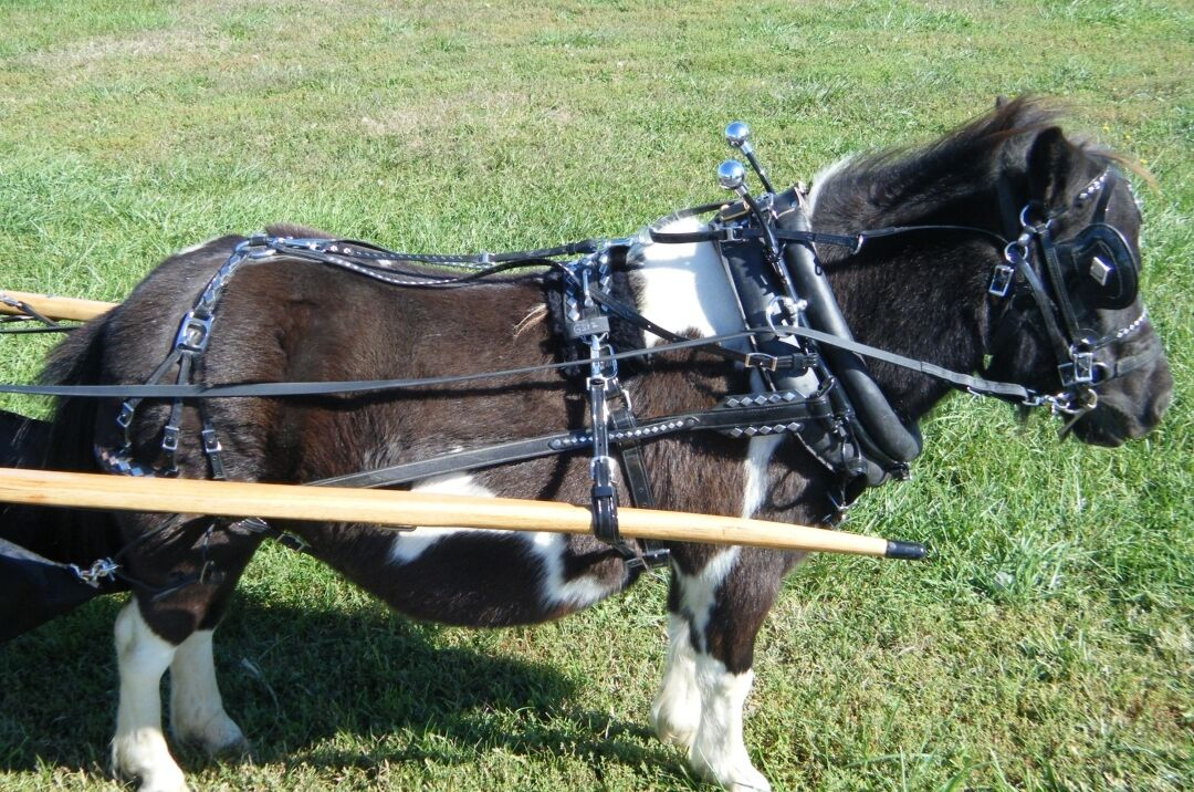 Ultimate mini miniature horse biothane parade harness with diamond spots