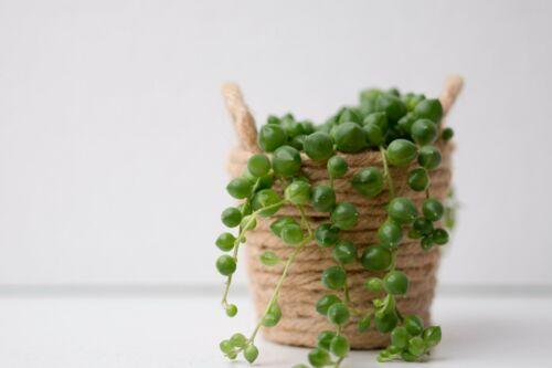 20cm Senecio rowleyanus string of pearls piselli in catena ERBSEN pianta di tagli