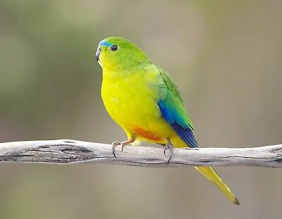 Metal Magnet Orange Bellied Parrot Travel Australia Bird Yellow Green Blue Ebay