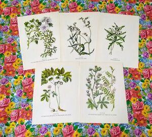 Vintage-Botanical-Prints-Set-of-5-1950s-Book-Plate-Plants-Prints-to-Frame