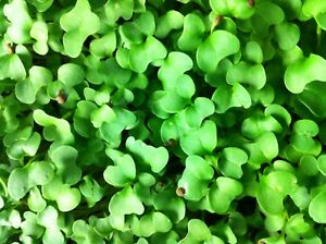 2 OZ BLUE CURLED KALE SEEDS - VITAMIN PACKED MICRO GREEN, SPROUT, OR GARDEN!!