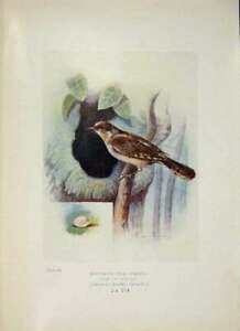 Original-Old-Antique-Print-Wryneck-Bird-Egg-Colour-Fine-Art-1910-20th-Century