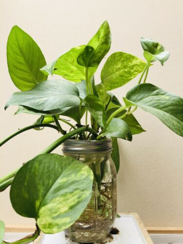 Live rooted Cuttings Indoor Plant. Golden Pothos 6
