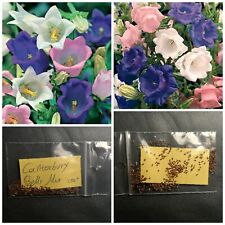 Campanula Poscharskyana 150 Seeds