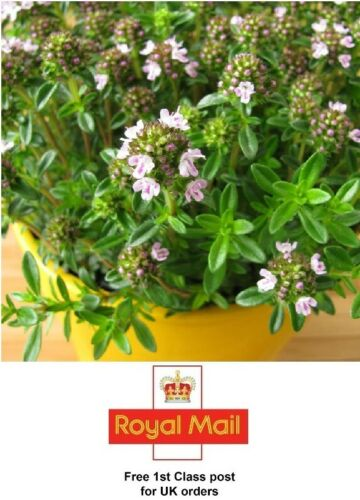 HERB Grow Your Own 1000 x WINTER SAVORY SEEDS SOW MAY to EARLY JUNE