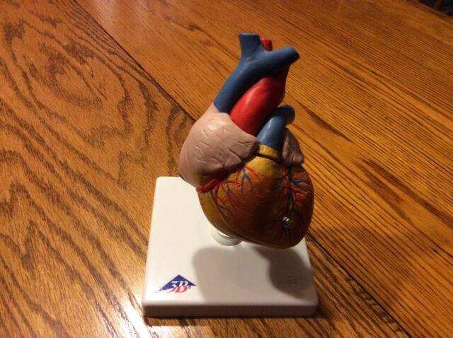 3b Scientific Heart Model 2 Part