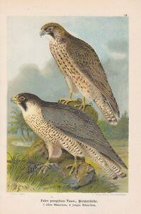 Wanderfalke-Falco-peregrinus-Chromolithographie-von-1903-Falken-Falcon-Falk