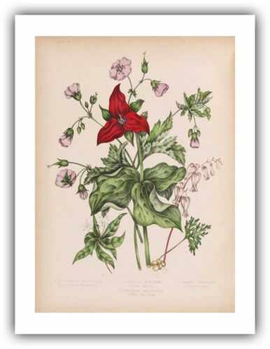 "Agnes FitzGibbon : /""Star Flower Purple Trillium/"" — Giclee Fine Art Print 1869"