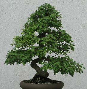 rote Zierbeeren dekorativ winterharte Samen. Weissdorn i Zierbaum Bonsai i