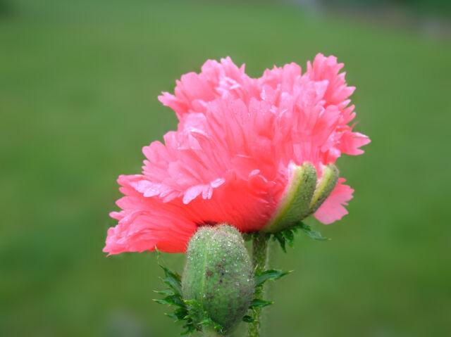 20 Oriental Poppy Flower Seeds Fancy Feathers Poppies Papaver Orientale #17A
