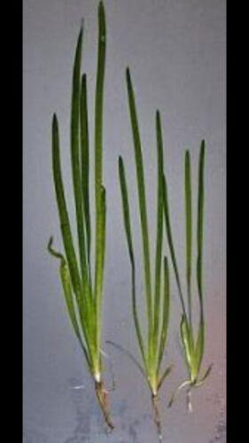 10 long beautiful reed like plant Java Live Tropical Aquarium Fish Tank Plants