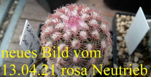 Echinocereus pectinatus San Roberta frosthart winterharte Kakteen Kaktus