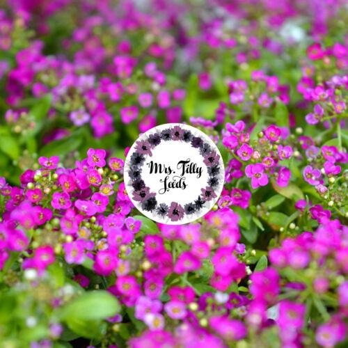 Steinkraut  Royal Carpet Steinblume Staude 500 Samen Bodendecker Teppich Blume