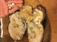 1 Giant,large Oyster With Pearls& 1 Purple Twin Oyster With Pearlson Sale Now