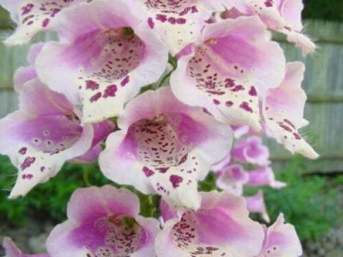1000 MIXED FOXGLOVE Digitalis Purpurea Flower Seeds