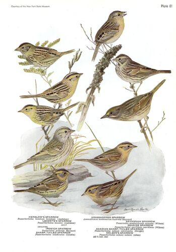 """Color Plate Lithograph 1936 Vintage FUERTES BIRDS #81 /""""SPARROWS NINE DIFFERENT"""
