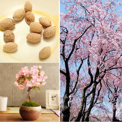 30x Graines JAPONAIS CERISIER sakura arbre de cerise rose Prunus serrulata fleur