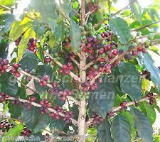 Coffea arabica 5 Samen árbol de café gran Kübelpflanze mehrjaerig Exot