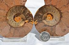 "RARE 1 in 100 BLACK PAIR Ammonite Crystal LARGE 91mm Dinosaur FOSSIL 3.6"" n2220"