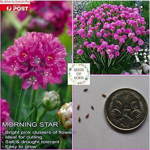 10 morning star seeds armeria maritima beautiful deep pink image is loading 10 morning star seeds armeria maritima beautiful deep mightylinksfo