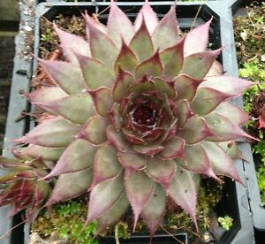 SEMPERVIVUM-BERWICK-RED-Garden-Plant-Succulent-Special-10-for-30