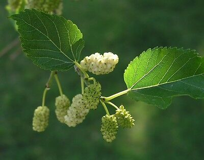 WHITE MULBERRYFRUIT TREE SEEDS. MORUS ALBA ( SILK WORM TREE)  50 for only 99p