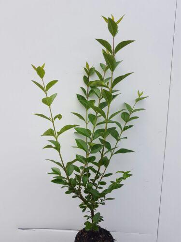 80cm  Heckenpflanzen /% Super Sale /% jede Stückzahl mög. Liguster atro.25st