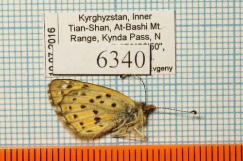 Polycaena tamerlana timur 18m Riodinidae !PRICE FOR EACH!