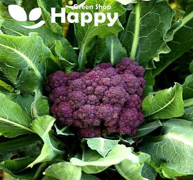 VEGETABLE - PURPLE BROCCOLI SEEDS - 100 seeds - MIRANDA - Calabrese WINTER HARDY