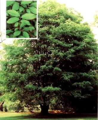 50 CHINESE ELM TREE Ulmus Parvifolia Seeds + Free Gift