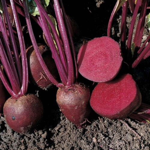 Pablo Beetroot 100 Finest Seed Liveseeds