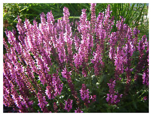 Salvia-nemorosa-Sensation-Deep-Rose-Improved-Perennial-Sage-Plant-in-3-5-034-pot