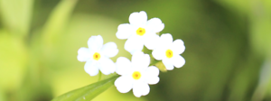 100//2000 Graines MYOSOTIS BLANC Fleurs Couvre-sol Ne m/'oubliez pas