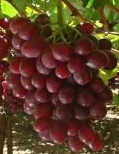 3x Cuttings of Red Flame Grape Vine, Seedless Grapevine Cuttings, Zone 6 to 10