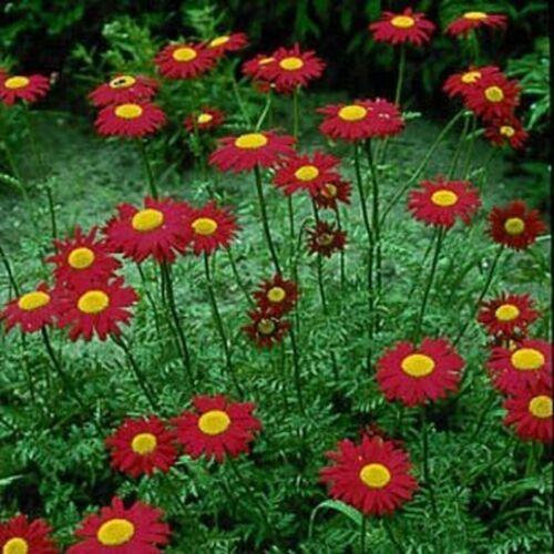 200 Seeds Chrysanthemum Robinson Red