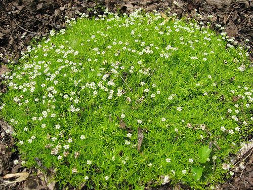 G636 IRISH MOSS SEEDS SAMEN Sagina Subulata 60 graines SAGINE PLANTE CARPETTE