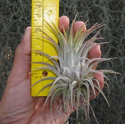 large, husky ionantha tillandsia airplant air plant from oahu hawaii