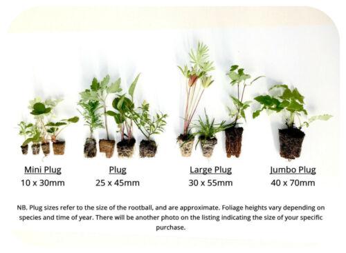 Scented Pelargonium ORANGE Large Cutting Plug Plant Grandeur Odorata Geranium