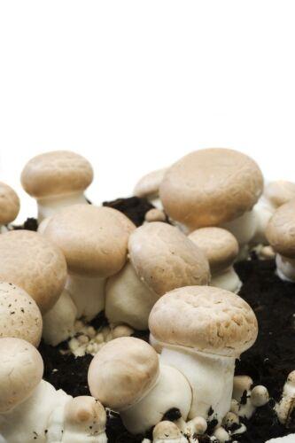 2x champignons marron//blanc 3x pilzbrut à maison champignons élever des austernseitling