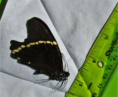 African Blue-banded Swallowtail Butterfly Papilio nireus Male Folded FAST USA