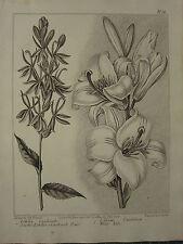 1806 datato Stampa Floreale ~ Scarlet LOBELIA CARDINALS fiore ~ bianco Lily