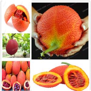 10-Pieces-graines-Gac-Fruit-Bonsai-Momordica-cochinchinensis-Spreng-cochinchin-Gourd