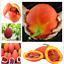 10-Pieces-graines-Gac-Fruit-Bonsai-Momordica-cochinchinensis-Spreng-cochinchin-Gourd miniature 1