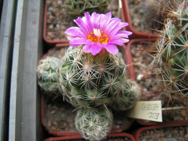 Escobaria hesteri Hardy Ball Cactus SEEDS!
