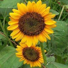 Sunflower- Dwarf Sunspot (Helianthus Annus) - 100 seeds