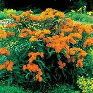 Milkweed-Swamp-Butterfly-Asclepias-Tuberosa-25-Seeds-BOGO-50-off-SALE