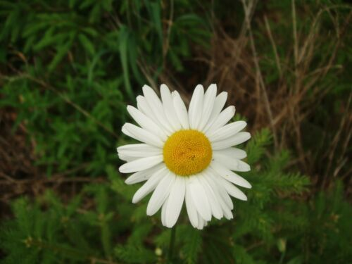 6 x Leucanthemum superbum Alaska White Daisy perennial XL PLUG plants