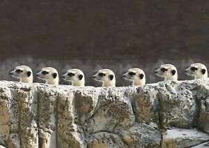 Cute-Funny-Meerkats-Poster-Print-Size-A4-A3-Wild-Animals-Poster-Gift-8583