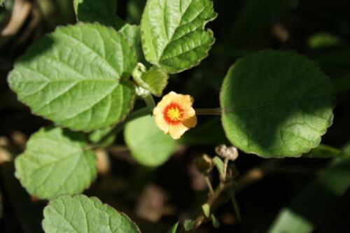 Bala Indische Sandmalve Sida Cordifolia Saatgut ca 2000 Samen!!!