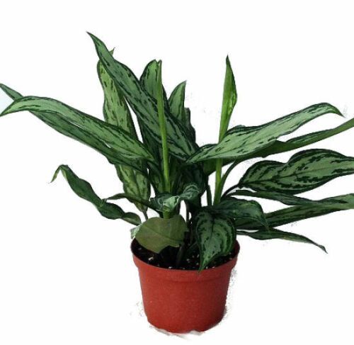 "Aglaonema Silver Queen Live Plant Low Light 6/"" Pot Indoor Houseplant"